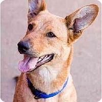 Adopt A Pet :: Amber - Portland, OR