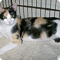 Calico Cat for adoption in Scottsdale, Arizona - Shannon