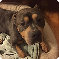 Adopt A Pet :: Thor - Chicago, IL