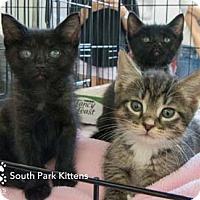 Adopt A Pet :: Stan - Merrifield, VA