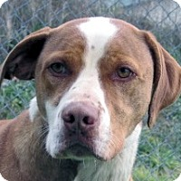 Great Dane/Hound (Unknown Type) Mix Dog for adoption in Germantown, Maryland - Duce