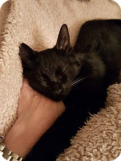 Domestic Shorthair Cat for adoption in Monrovia, California - Kohl