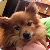 Pomeranian Mix Dog for adoption in Peterborough, Ontario - PUMPKIN