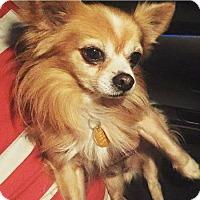Adopt A Pet :: Cookie - Ocean Ridge, FL