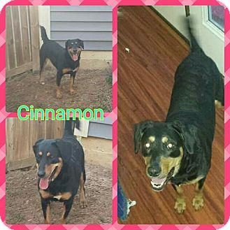 Rottweiler/Beagle Mix Dog for adoption in fredericksburg, Virginia - Cinnamon