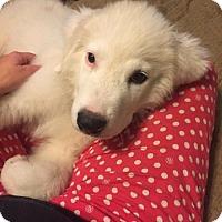 Adopt A Pet :: Polar - Huntersville, NC