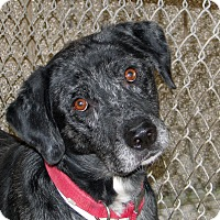 Catahoula Leopard Dog/Labrador Retriever Mix Dog for adoption in Ruidoso, New Mexico - Felix