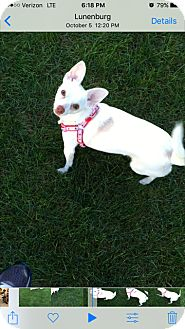 Jack Russell Terrier/Chihuahua Mix Dog for adoption in Worcester, Massachusetts - Aggie