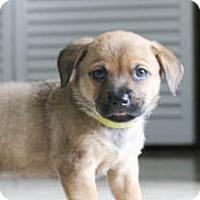 Adopt A Pet :: Cinnamon's baby Eden - Miami, FL