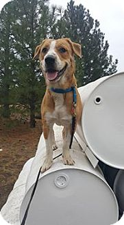 Beagle/Spaniel (Unknown Type) Mix Dog for adoption in Rathdrum, Idaho - Chance