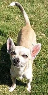 Chihuahua Dog for adoption in Dallas, Texas - Austin