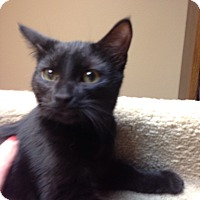 Adopt A Pet :: Pickles - Bridgeton, MO