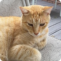 Domestic Shorthair Cat for adoption in Nashville, Tennessee - Dandelion