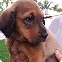 Australian Shepherd Mix Puppy for adoption in Royal Palm Beach, Florida - Star