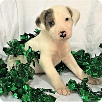 Adopt A Pet :: Snow - Mooresville, NC