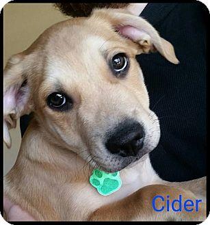 Border Collie Mix Puppy for adoption in Allen, Texas - Cider