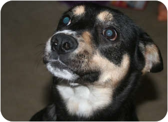 Australian Shepherd Mix Dog for adoption in Westfield, Indiana - Marni