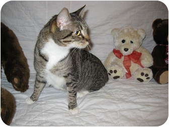 American Shorthair Cat for adoption in Poway, California - Cookie