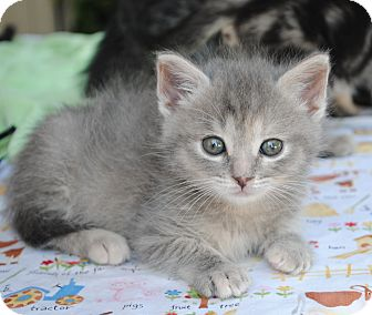 Domestic Shorthair Kitten for adoption in Palmdale, California - Delilah (aka Tortie Girl)