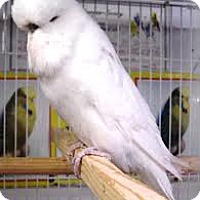 Adopt A Pet :: English Budgie - Independence, KY