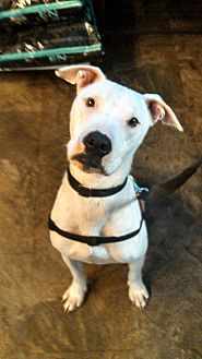Pit Bull Terrier Mix Dog for adoption in Lakeland, Florida - Holly