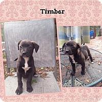 Adopt A Pet :: Timber Adoption pending - Manchester, CT