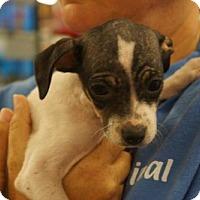 Adopt A Pet :: Cheagle female 4 - Martinez, GA