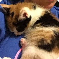 Adopt A Pet :: Cheetara - New York, NY