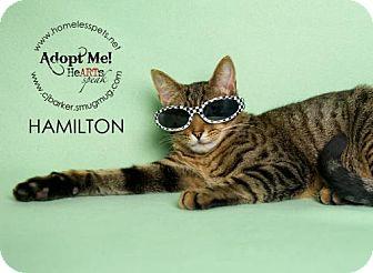 Domestic Shorthair Cat for adoption in Houston, Texas - . Hamilton .