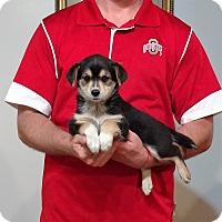 Adopt A Pet :: Babe - New Philadelphia, OH