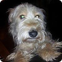 Adopt A Pet :: Hayley - Wagoner, OK