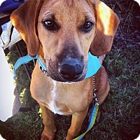 Bloodhound Mix Dog for adoption in Monroe, North Carolina - Gunner