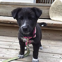 Labrador Retriever/Border Collie Mix Puppy for adoption in Saskatoon, Saskatchewan - Lola