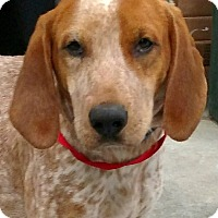 English (Redtick) Coonhound/Hound (Unknown Type) Mix Dog for adoption in Lexington, Massachusetts - Tate