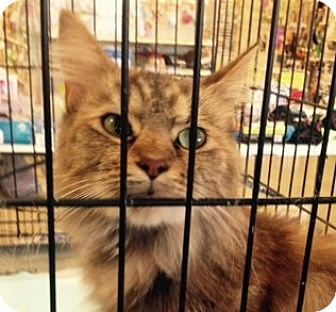 Maine Coon Cat for adoption in Germantown, Maryland - Crystal