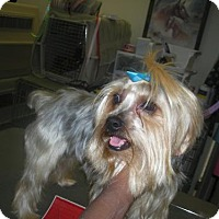 Yorkie, Yorkshire Terrier Dog for adoption in Moreno Valley, California - Sonny