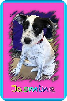 Miniature Schnauzer Mix Dog for adoption in North Richland Hills, Texas - Jasmine