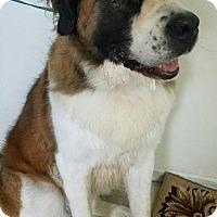 St. Bernard Dog for adoption in Scanton, Pennsylvania - EDEN