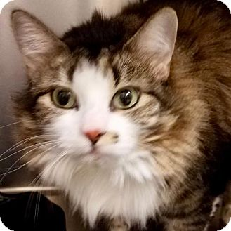 Ragdoll Cat for adoption in Potomac, Maryland - Molly