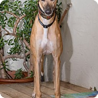 Greyhound Dog for adoption in Walnut Creek, California - Diva