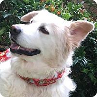 Adopt A Pet :: Snow - Dallas, TX