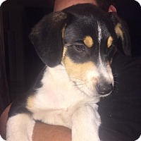 Border Collie/Cattle Dog Mix Dog for adoption in Royal Palm Beach, Florida - Belle