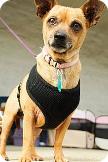 Chihuahua/Dachshund Mix Dog for adoption in Red Lion, Pennsylvania - TEAKA