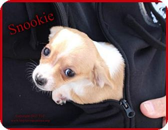 Chihuahua/Dachshund Mix Puppy for adoption in Simi Valley, California - Snookie