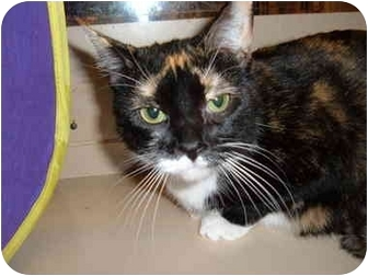 Domestic Shorthair Cat for adoption in No.Charleston, South Carolina - Dazzle