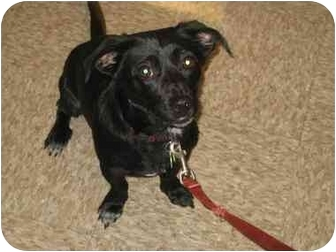 Dachshund Mix Dog for adoption in Scottsdale, Arizona - Klinger