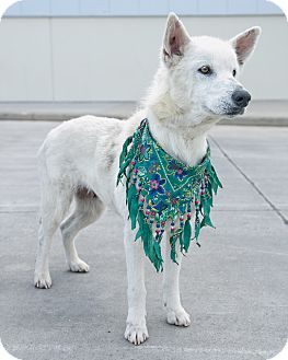 Husky/German Shepherd Dog Mix Dog for adoption in Houston, Texas - Sugar Audrey