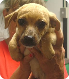 Chihuahua Mix Puppy for adoption in baltimore, Maryland - Bennett