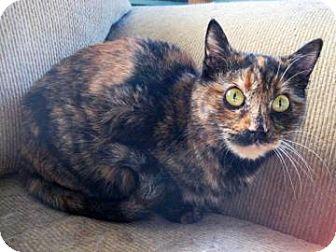 Domestic Mediumhair Cat for adoption in Tucson, Arizona - Leigh