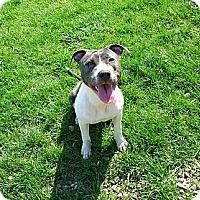 Adopt A Pet :: Cedar - Shavertown, PA